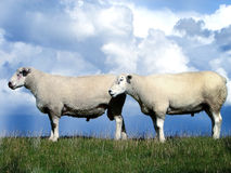 Sheep. Shot of sheep in Germany royalty free stock photography