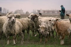 Sheep. Many old sheep together on the field Royalty Free Stock Photography