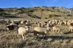Sheep. On the Bistra mountain in summer Royalty Free Stock Images