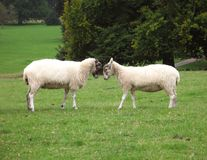 Sheep. In love Royalty Free Stock Image