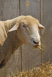Sheep. Eating hay in barnyard stock images