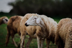 Sheep. Graze with closeup head Stock Images