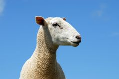 Sheep. One sheep against a blue sky background Royalty Free Stock Photography