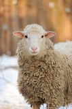 Sheep. Young sheep in winter day Stock Photos