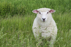 Sheep. A cute sheep on a green meadow looking directly into the camera Stock Images