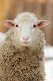 Sheep. Young sheep in winter day Royalty Free Stock Photography