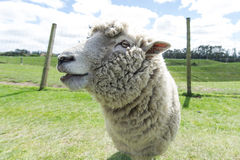 Sheep. A sheepSmiling. Shallow DOf with focus on left eye Royalty Free Stock Photo