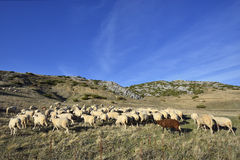 Sheep. On the Bistra mountain in summer Royalty Free Stock Photos