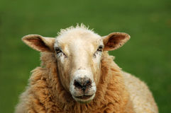 Sheep. Close up of a sheep royalty free stock photo