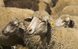 Sheep. Group of sheep on the mountain in summer Stock Images