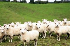 Free Sheep Stock Image - 3182541