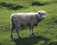 Sheep. On fresh green meadow royalty free stock photography