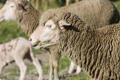 Sheep. Closeup of a female sheep royalty free stock photo