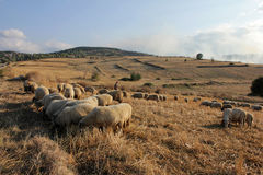 Free Sheep Stock Photos - 33337133