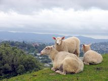 Sheep. New Zealand Sheep On The Hill Stock Image