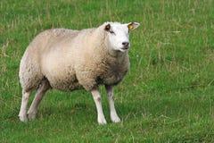 Free Sheep Stock Photos - 3460503