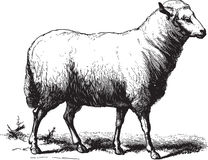 Free Sheep Stock Photo - 35763080