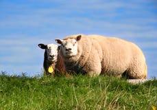Free Sheep Stock Image - 3596561