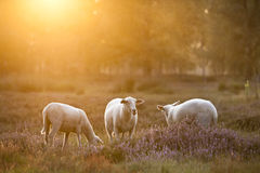 Sheep. Are grazing on the flourishing heather, backlit by the sun Stock Photo