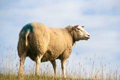 Free Sheep Royalty Free Stock Photo - 3811935