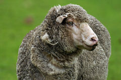 Sheep 4. Close up of an adult sheep Stock Photo