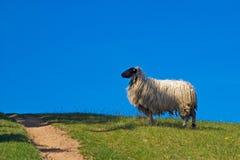 Free Sheep Royalty Free Stock Image - 4028186