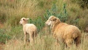 Sheep. Baby sheep accompany by caring mother sheep Stock Photo