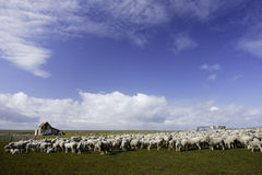 Sheep. Flock of sheep grazing in grassy pasture with blue sky and white clouds as background George Island Falklands Stock Image