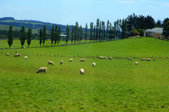 Sheep. On a field in New Zealand Royalty Free Stock Photography