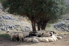 Free Sheep Royalty Free Stock Photos - 47794268