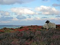 Sheep. On the mountain during sunset time royalty free stock images