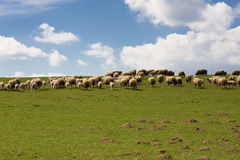 Free Sheep Royalty Free Stock Image - 4977176