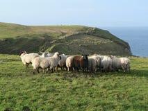 Sheep. Flock of Sheep Royalty Free Stock Image