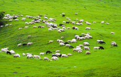 Free Sheep Stock Images - 5300324