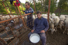 Free Sheep Stock Photo - 54044400