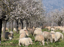 Sheep. With almond trees in bloosoms stock images