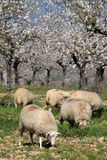 Sheep. Feeding bellow almond trees in blossoms royalty free stock image