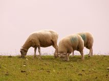 Sheep. A sheep and two grown-up lambs at the top of a dike Royalty Free Stock Image