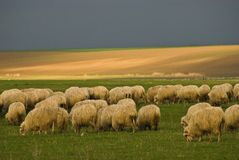 Sheep. Flock of sheep on field,Romania Stock Image