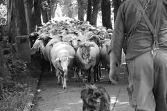 Sheep. Guided by dog and shepherd Royalty Free Stock Photos