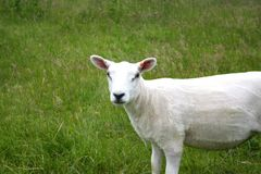 Sheep. Newly shorn sheep in grassy meadow stock images
