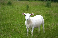 Sheep. Newly shorn sheep in grassy meadow royalty free stock image