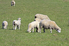 Sheep. A image depicting sheep grazing on a farm in south africa Royalty Free Stock Image