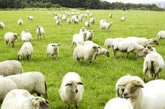 Free Sheep Royalty Free Stock Image - 5825396