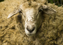 The sheep Stock Photo