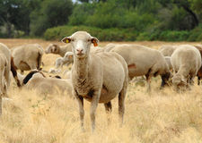 Sheep. Moving of a mob of sheep into pastures royalty free stock photo
