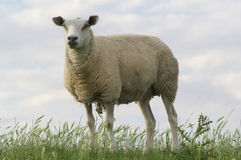Sheep. The sheep on the gras field Stock Photo