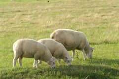 Sheep. The sheep on the  gras field Stock Image