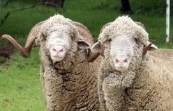 Sheep. A pair of Rambouillet rams Stock Photography