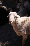 Sheep. White woolly sheep looking into camera Royalty Free Stock Image